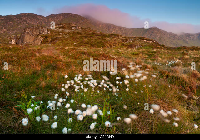 Cotton grass on a summer morning at Runde island on the Atlantic west coast, Møre og Romsdal, Norway. - Stock-Bilder