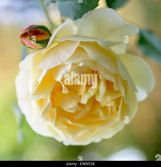 Rosa Graham Thomas, a yellow David Austin rose - Stock Image