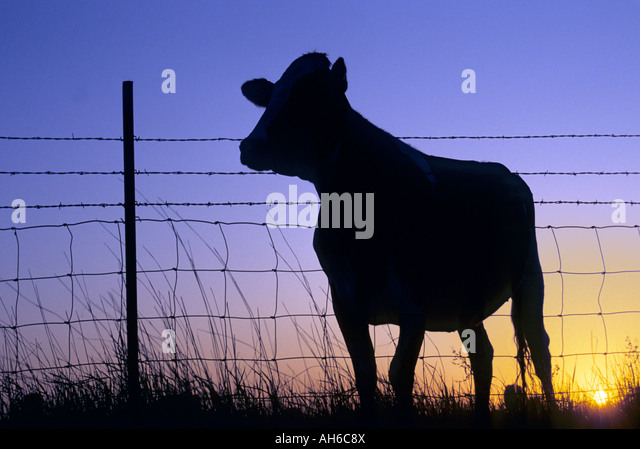 SILHOUETTE OF BEEF COW AT FENCELINE IN SOUTH DAKOTA;  SUNRISE. - Stock Image