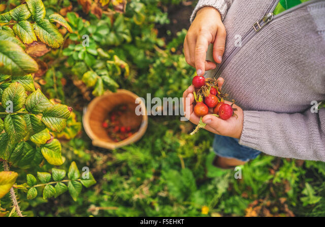 Elevated view of a boy picking rosehips - Stock Image