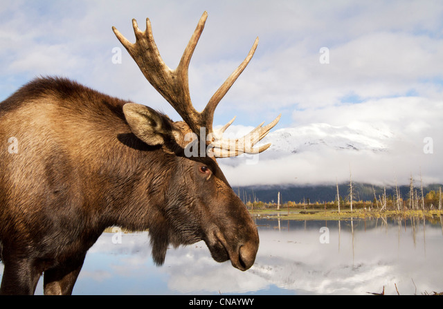 CAPTIVE: Side view of a bull moose standing next to a pond, Alaska Wildlife Conservation Center, Southcentral Alaska, - Stock Image