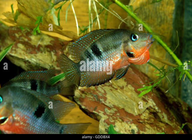 Firemouth Cichlid Juvenile Thorichthys Stock Phot...