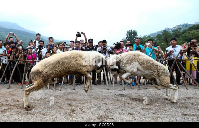 """Linyi, China's Shandong Province. 9th July, 2016. Two sheep fight against each other during the """"fuyang"""" - Stock Image"""
