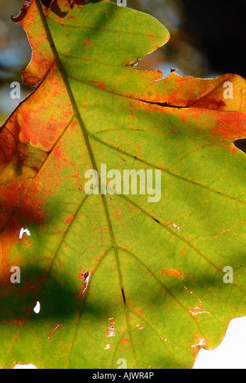 Vibrantly Colored Autumn Leaf Fall Foliage - Stock Image