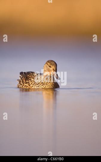 TEAL Anas crecca Portrait of an adult female on a tranquil coastal lagoon. Norfolk, UK. Photographer.Andrew Parkinson - Stock-Bilder