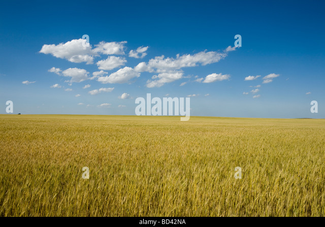 Golden wheat growing in western Nebraska thresher on horizon breadbasket of USA - Stock-Bilder
