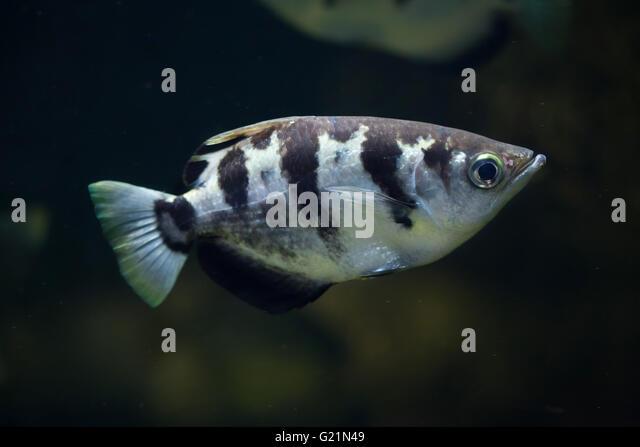 Archer Fish Stock Photos & Archer Fish Stock Images - Alamy