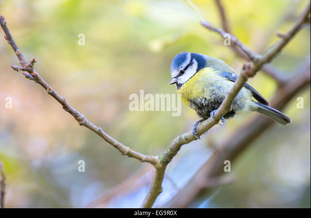 Blue tit. Hyde Park London - Stock Image
