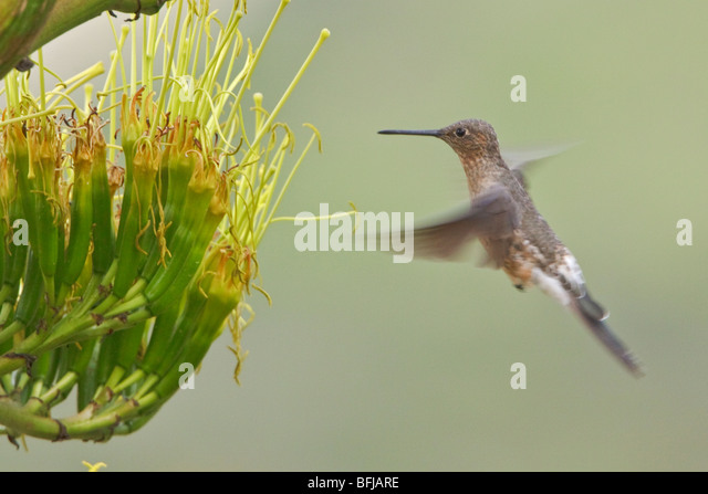 Giant Hummingbird (Patagona gigas) feeding at a flowering plant near Quito in the highlands of central Ecuador. - Stock Image