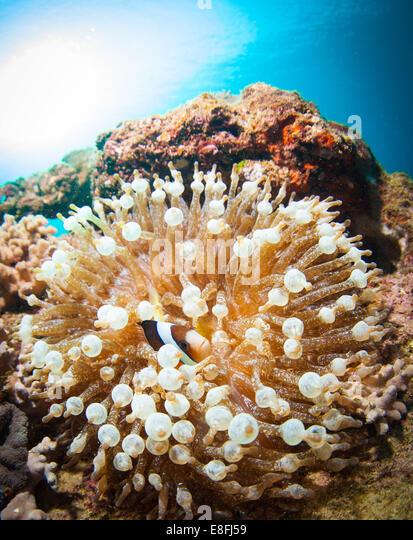 Fish hiding in Sea anemone on coral reef, Okinawa, Japan - Stock Image