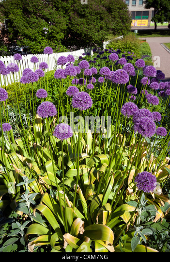 Alliums or Lucy Balls growing in gardens in the Kumpula district of Helsinki, Finland - Stock Image