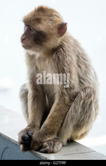 Barbary macaque of Gibraltar, the only wild monkey population in the European continent - Stock Image
