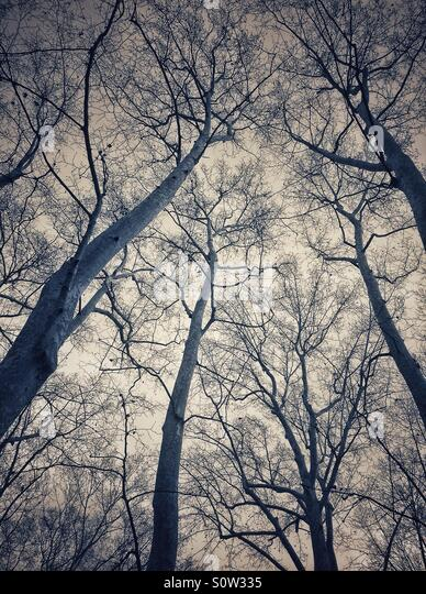 Looking up branches of trees in La Devesa park, Girona, Catalonia, Spain - Stock Image