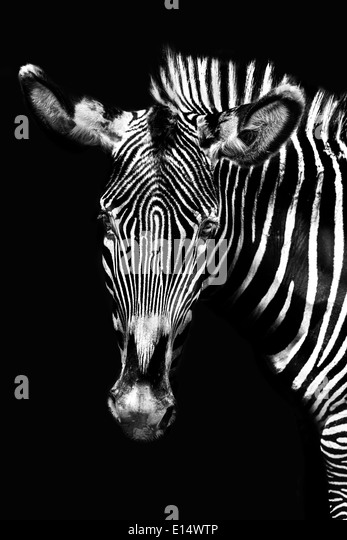 Black and White Zebra Portait - Stock Image