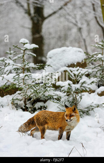 red fox (Vulpes vulpes), in snow covered forest, Germany, North Rhine-Westphalia - Stock Image