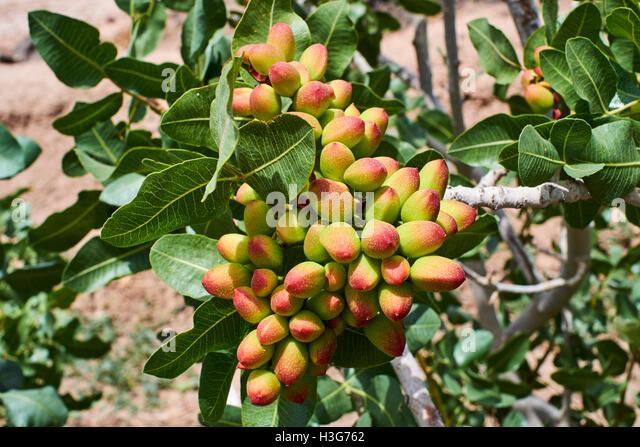 Iran, Fars province, pistachio fields - Stock Image