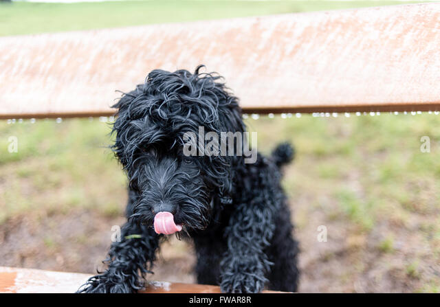 Oxton, Nottinghamshire, UK. 2nd April, 2016. A damp start to the day ,said to be clearing later . Frankie the cockapoo - Stock Image