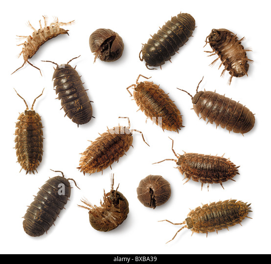 hypothesis of pill bug Critters in the classroom: pillbugs you may also like foss® next generation living materials, animals two by two, prepaid coupon 5: 25 pill bugs, 25 sow bugs item #smck05lc $4295.