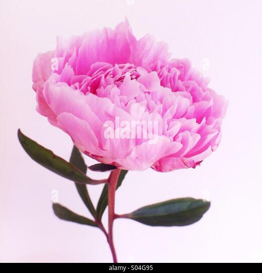 Pink peony flower - Stock Image