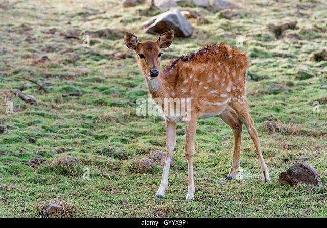 Axishirsch oder Chital (Axis axis) im Trockenwald, Ranthambhore-Tigerreservat, Rajasthan, Indien. - Stock-Bilder