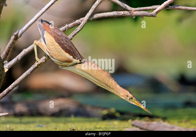 Little Bittern (Ixobrychus minutus), male ready to strike. Lake Kerkini, Greece. - Stock-Bilder