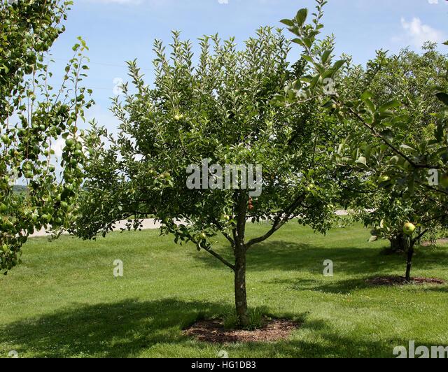dwarf apple tree stock photos dwarf apple tree stock images alamy