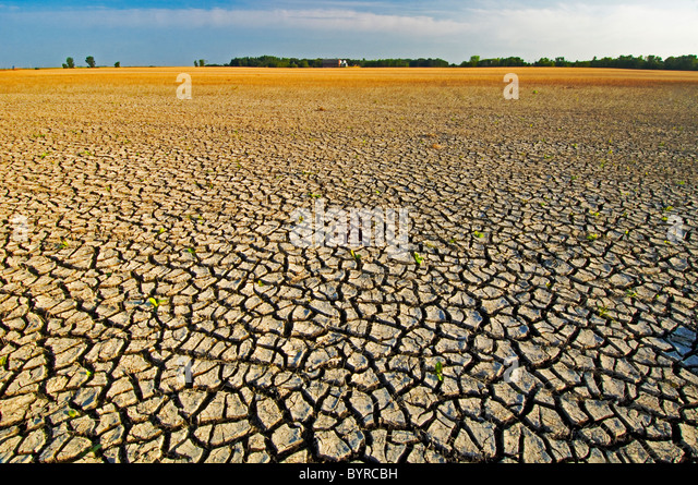 Grain field with cracked mud shows the effects of flooding followed by drought. Reduced grain crop is growing in - Stock Image