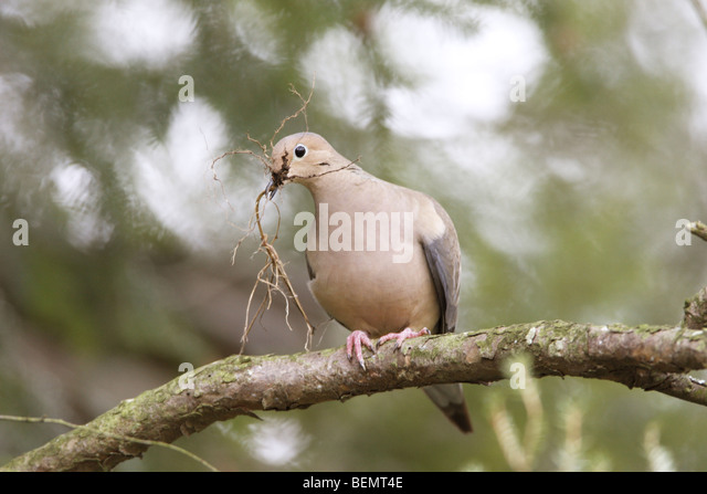 Mourning Dove Perching with nest material - Stock Image