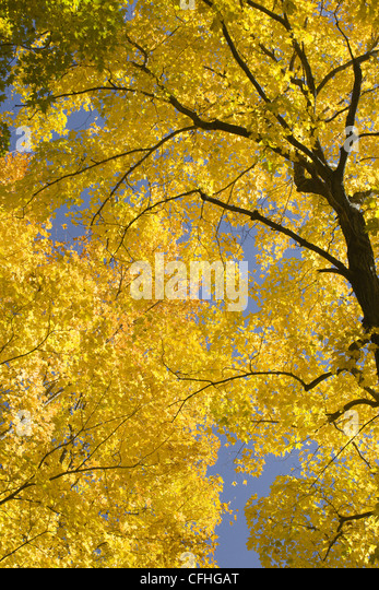 Yellow autumn leaves - Stock Image