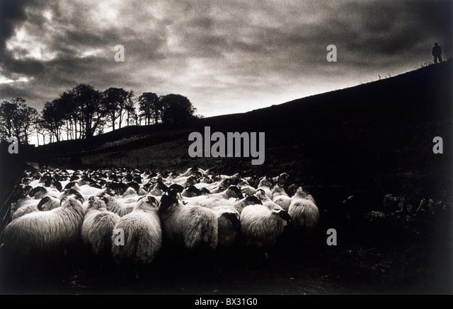 Sheep, Ireland - Stock Image