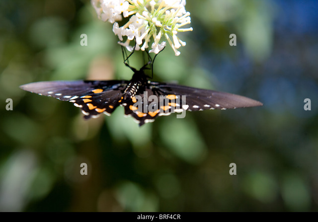 black and orange butterfly drinking nectar upside down, white butterfly flower - Stock-Bilder