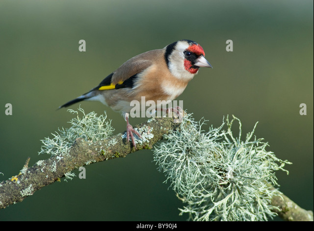 Goldfinch - New Forest - Stock Image