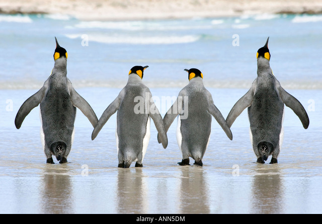 A group of 4 King Penguin crossing the sands hand in hand - Stock Image