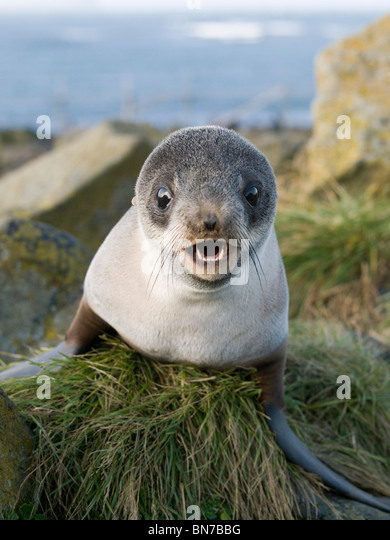 Close up portrait of a juvenile Northern Fur Seal, St. Paul Island, Alaska, Summer - Stock Image