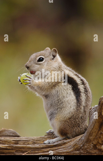 Golden mantled Ground Squirrel Spermophilus lateralis adult on log with food stored in their cheek pouches Rocky - Stock Image