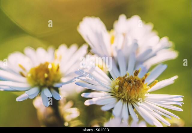 Three flowers - Stock Image