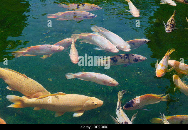 Cyprinid stock photos cyprinid stock images alamy for Cyprinus carpio koi