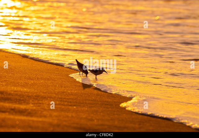 Sanderlings-'Hunakai' in Hawaiian language (Calidris alba), Polihale Beach, Kauai, Hawaii - Stock Image