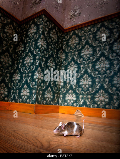 mouse walking in a luxury old fashioned room We can see her hole in the background - Stock Image