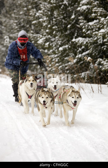 Dogs pulling a sled in a race in winter - Stock Image