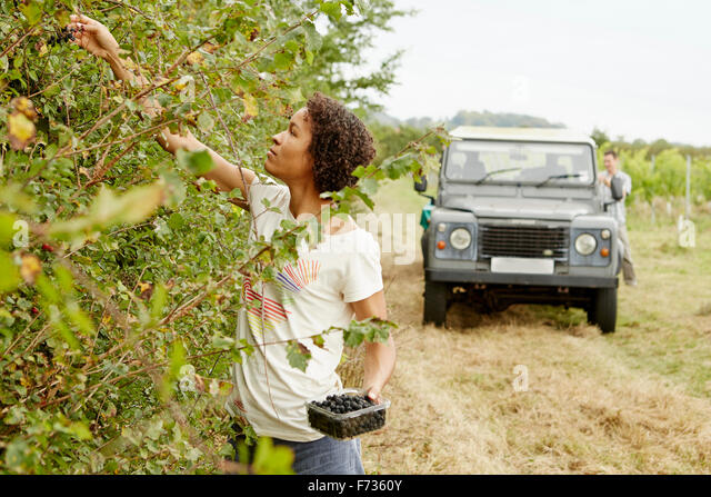 A woman picking blackberries from the hedgerow in autumn. - Stock Image