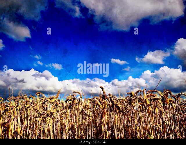 Ripe wheat field - Stock Image
