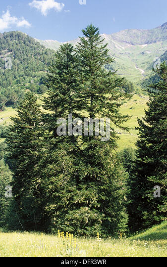 Silver Fir (Abies alba). Lleida province. Pyrennes. Catalonia. Spain - Stock Image