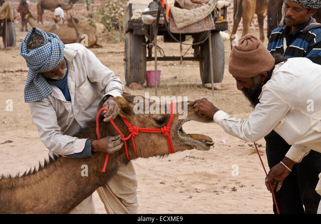 Camel seller and prospective buyer, Nagaur Fair, Rajasthan, India - Stock Image