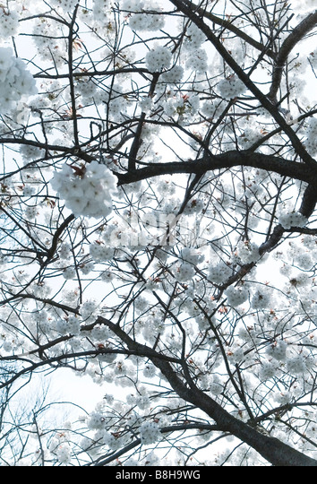 White blossom in spring - Stock Image