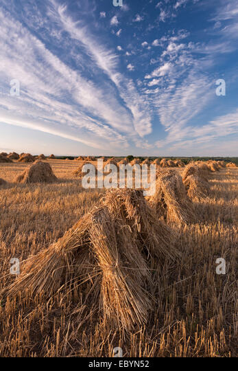 Corn stooks harvested for thatching purposes, Devon, England. Summer (July) 2014. - Stock Image