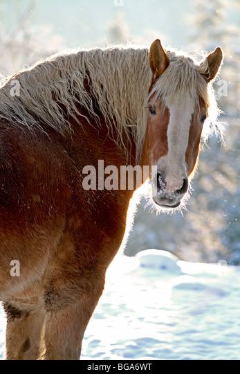 Horse, Belgian draft horse outdoors in winter with snow. Also known as draught horse. - Stock Image