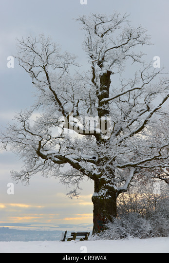 Old oak tree in winter - Stock Image