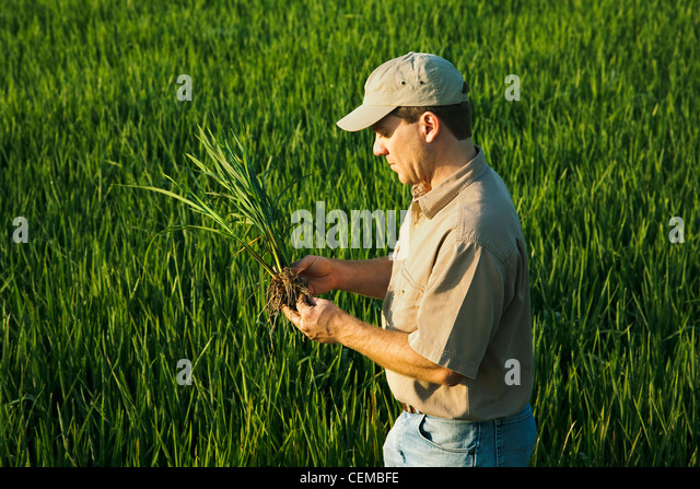 A farmer (grower) in his field inspects his mid growth rice plant at the early head formation stage / Arkansas, - Stock Image