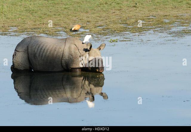 A  greater one-horned rhinoceros in Kaziranga national park in Assam. - Stock Image